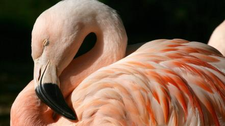 Chilean Flamingo Wallpaper