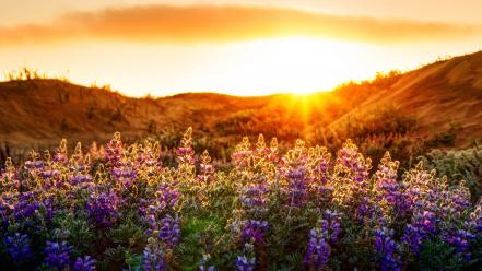 Flowers hills san francisco sunlight meadows lupine Wallpaper