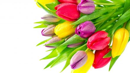 Flowers tulips colors wallpaper