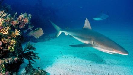 Grey Reef Sharks wallpaper