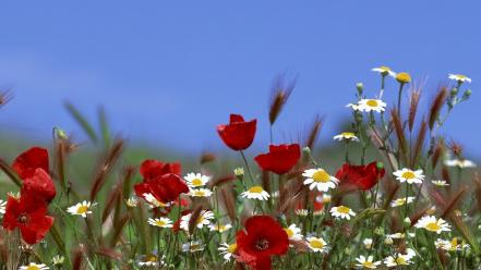 Nature flowers poppies daisies Wallpaper
