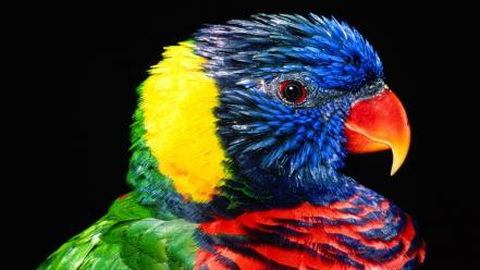 Rainbow Colour Parrot Wallpaper