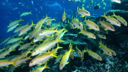 Yellow Goatfish wallpaper