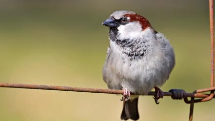 Birds animals sparrow wallpaper