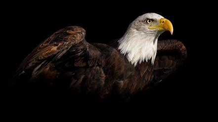 American bald eagle birds wildlife wallpaper