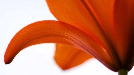 Flowers lilies nature orange white background wallpaper