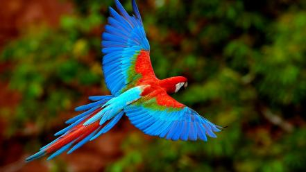 Scarlet macaws birds flying parrots wallpaper