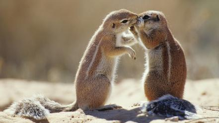South africa animals capes chipmunks ground wallpaper