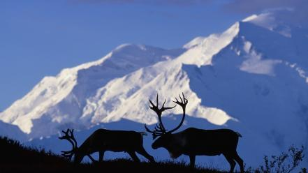 Alaska national park caribou wallpaper