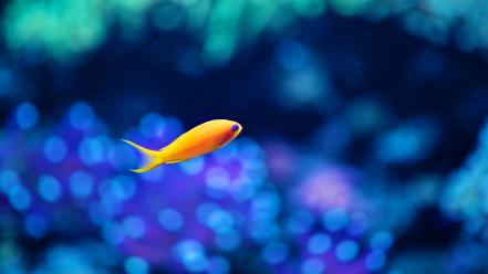 Bokeh fish goldfish orange water wallpaper