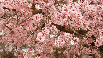 Cherry blossoms flowers nature spring trees wallpaper