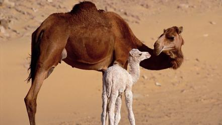 Animals baby camels nature wallpaper