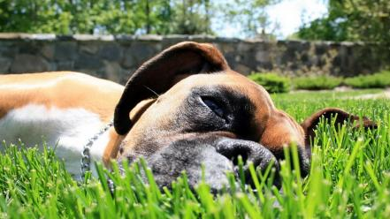 Animals boxer dog dogs grass mammals Wallpaper