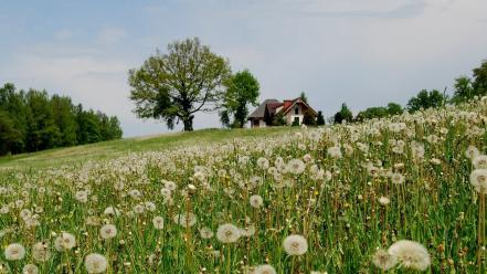 Dandelions fields landscapes nature wallpaper