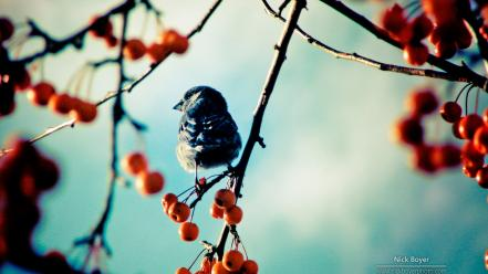 Autumn berries birds blurred background branches wallpaper