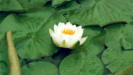 Flowers lily pads lotus flower white wallpaper