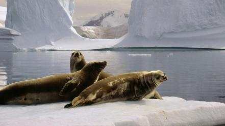 Antarctica the south pole seals wallpaper
