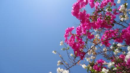 Bougainvillea flowers wallpaper