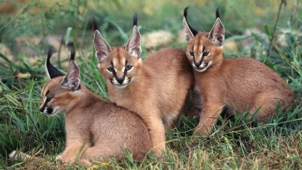 Animals caracal wallpaper