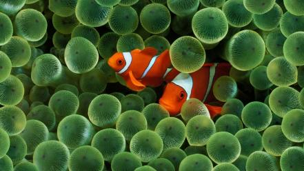 Animals clownfish fish sea anemones wallpaper
