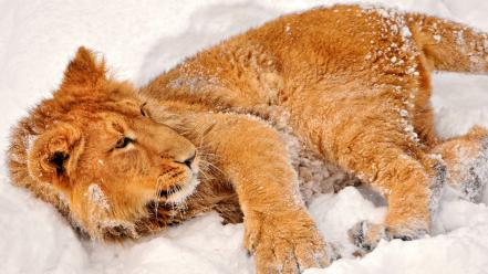 Animals lions snow wallpaper