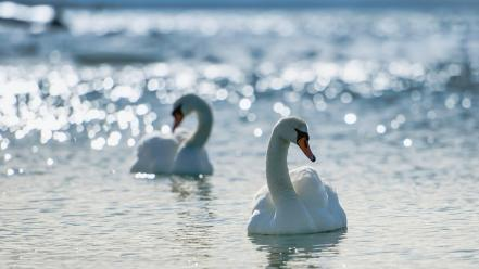 Birds bokeh lakes swans white Wallpaper