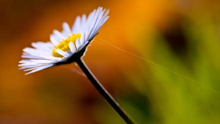 Flora daisy flowers nature plants Wallpaper