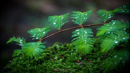 Moss plants water drops wallpaper