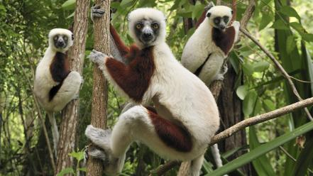 Landscapes nature animals madagascar lemur national park baby wallpaper