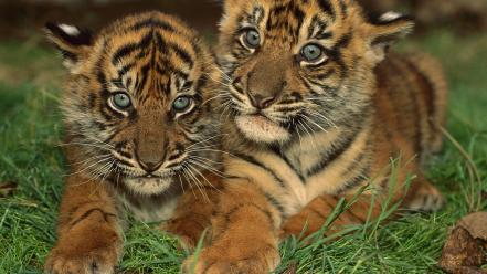 Nature animals tigers grass cubs baby wallpaper