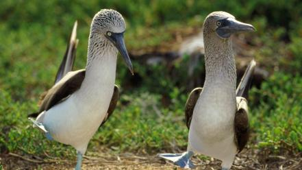 Nature birds animals blue-footed boobies wallpaper
