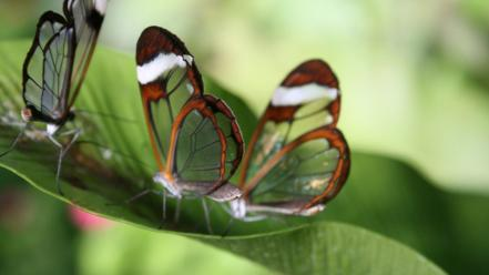 Nature glasswing butterfly butterflies wallpaper
