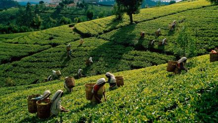 Tea harvest asia sri lanka wallpaper