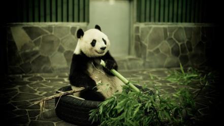 Animals bamboo panda bears wallpaper