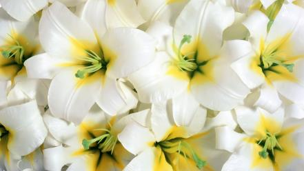 Close-up white flowers yellow background wallpaper