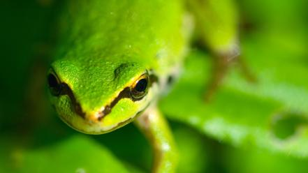Green close-up animals frogs macro wallpaper