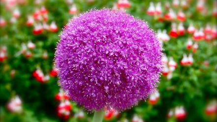 Nature flowers allium purple Wallpaper