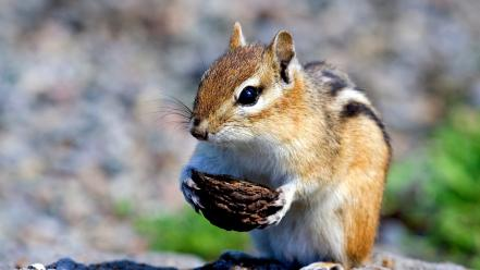 Animals squirrels chipmunks wallpaper