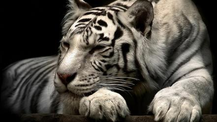 Animals tigers wallpaper