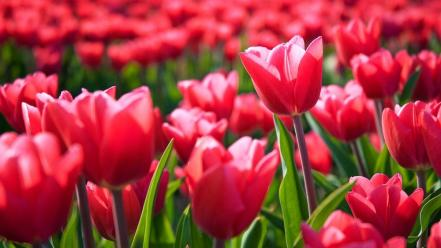 Europe tulips holland amsterdam dutch the netherlands wallpaper