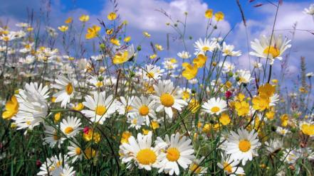 Flowers eye daisies wallpaper
