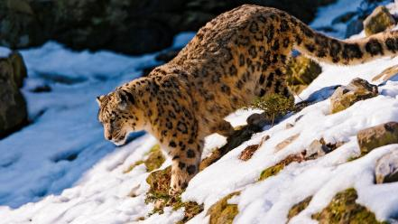 Snow animals leopards feline wallpaper