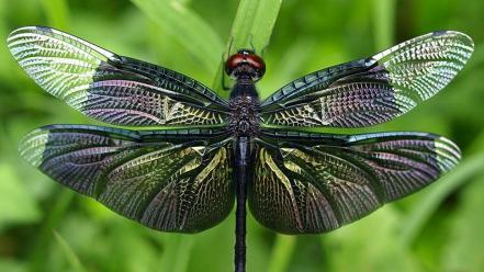 Animals insects dragonflies Wallpaper