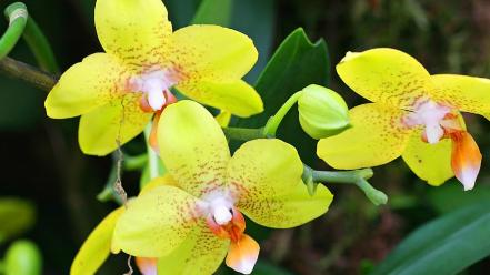 Flowers yellow orchids Wallpaper