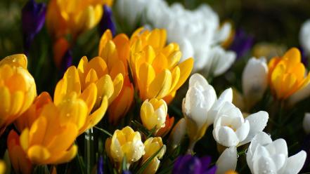 Nature flowers crocus Wallpaper