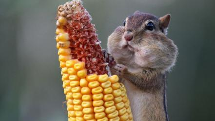 Corn hamsters chipmunks natural wallpaper
