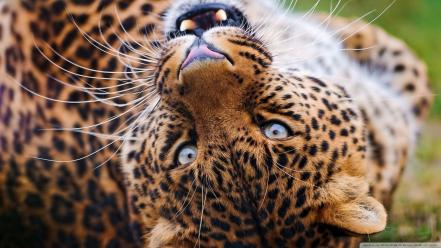 Animals leopards upside down wallpaper