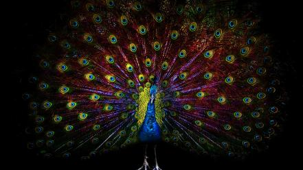 Multicolor birds feathers artwork black background peacocks Wallpaper