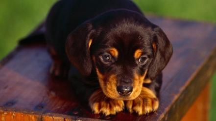 Animals dogs puppies rottweiler wallpaper