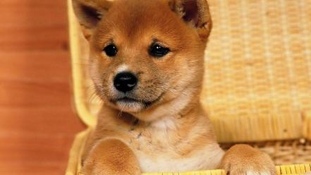 Animals dogs puppies shiba inu wallpaper